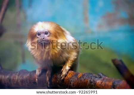 The golden lion tamarin (Leontopithecus rosalia)