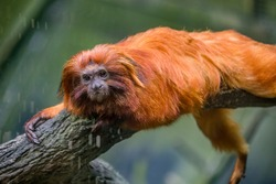 The golden lion tamarin (Leontopithecus rosalia) is a small New World monkey of the family Callitrichidae. Native to the Atlantic coastal forests of Brazil, an endangered species.