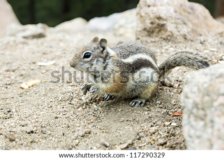 The golden-mantled ground squirrel (Callospermophilus lateralis)