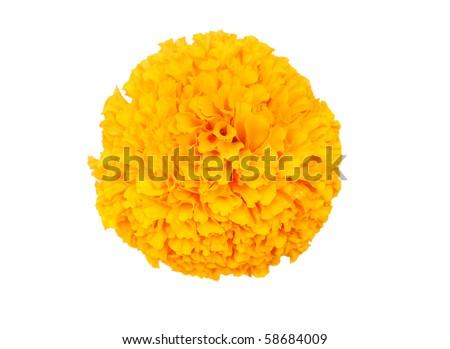 the golden marigold flower