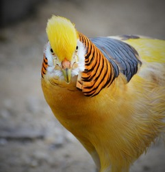 The golden pheasant, also known as the Chinese pheasant, and rainbow pheasant, is a gamebird of the order Galliformes and the family Phasianidae.