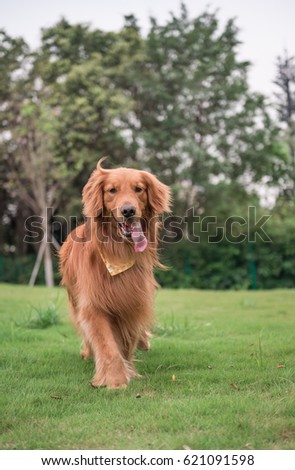 The Golden Retriever in the outdoor on the grass #621091598