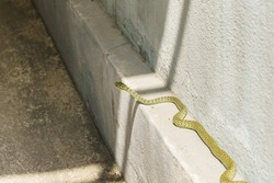 The golden tree snake (Chrysopelea ornata) was slithering along the wall.