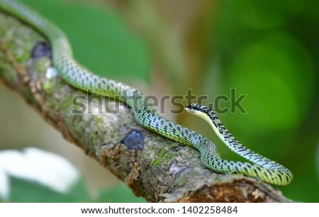 The golden tree snake,ornate flying snake, golden flying snake Chrysopelea ornata is a colubrid snake found in both South and Southeast Asia. Snake in Thailand.