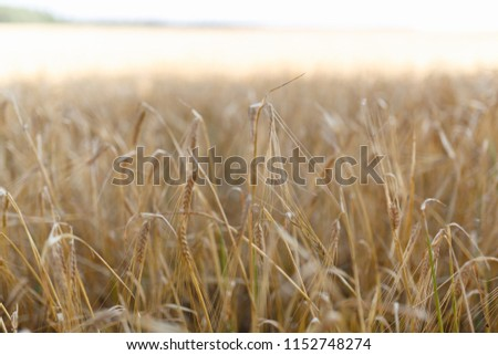 The Golden wheat field is ready for harvest. Background ripening ears of yellow wheat field against the blue sky. Copy space on a rural meadow close-up nature photo idea of a rich wheat crop. #1152748274