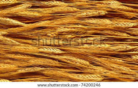 The golden wheat fields in a summer