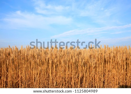 The golden wheat mature in the field