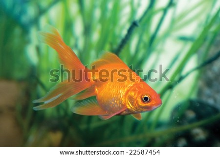 The goldfish on Chinese a sign brings a prosperity and good luck