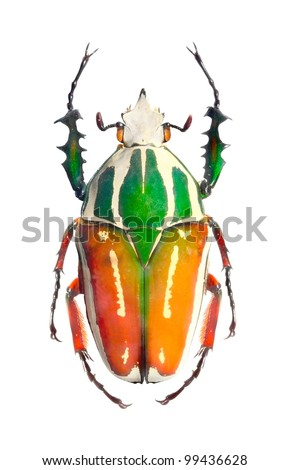 The Goliath beetle (Scarabaeidae) are among the largest insects on the earth.