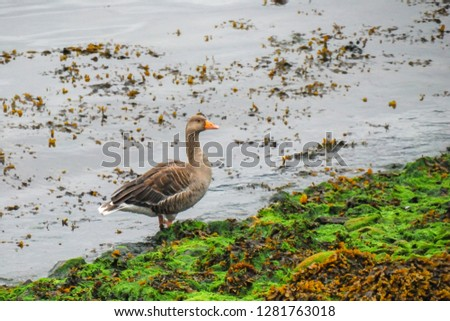 The goose standing on the edge of water in fjord. The greylag goose (Anser anser) is a species of large goose in the waterfowl family Anatidae. Norway. #1281763018