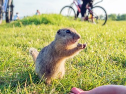 The gopher is eating a treat from his hands on the lawn against the backdrop of cyclists and people. Outdoors activity. Summer evening.