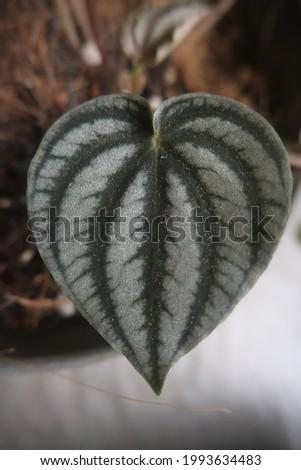 The gorgeous leaf of Peperomia Albovittata