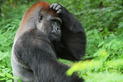 The gorilla movement that looks like confusion