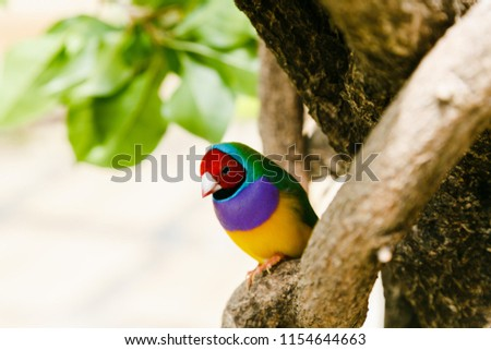 The Gouldian finch (Erythrura gouldiae), also known as the Lady Gouldian finch, endemic to Australia. Breeding of ornamental birds at home.
