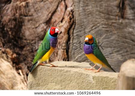 The Gouldian finch or Erythrura gouldiae, male, aka the Lady Gouldian finch, Goulds finch or the rainbow finch