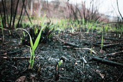 The grass breaks through the scorched earth. Willpower concept.  Natural disaster, ecology problem.