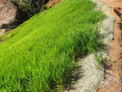 The grass is planted to prevent erosion of the soil slope. It is grown using a method of spraying grass seed onto a layer of moist geotextile material that has been pre-installed in the slope.