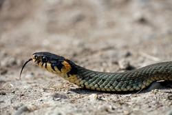 The grass snake (Natrix natrix), is a european non-venomous snake