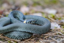 The grass snake (Natrix natrix), sometimes called the ringed snake or water snake, is a Eurasian non-venomous snake. Mating time in spring in the forest.