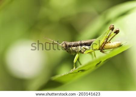the grasshopper #203141623