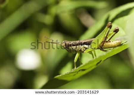 the grasshopper #203141629