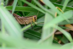 The grasshopper has a mouth-eating mouth, large eyes, long tentacles, 2 pairs of wings, both small and large legs. Herbivorous