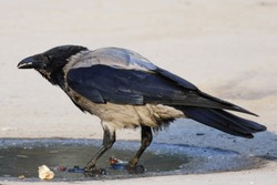 the gray crow stands in a puddle in the morning light