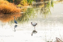 The gray heron and the white stork are large birds with a long neck and legs, a large sharp beak, wide wings and a short tail.