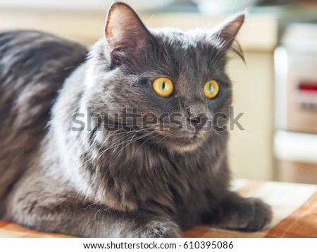 The gray kitten of breed a Maine Coon (age - 8 months) lies on a table and looks around himself #610395086