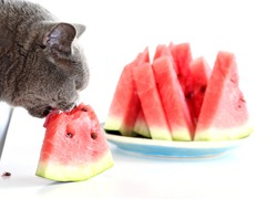 The gray Scottish cat is eating a juicy sweet watermelon. A domestic cat that loves to eat fruits and berries.