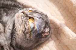 The gray scottish fold cat gray in a black strip with yellow eyes lies on a bed. Rainbow light on the cat's face. Concept stay home morning. Cute funny cat.