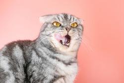 The gray Scottish Fold cat licks its lips amusingly, stuck out its tongue. Cute pet. Pink background, close-up portrait.