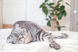 The gray Scottish fold cat lies and sleep wrapped in a warm beige plaid. Cozy cute warm home concept with a pet...