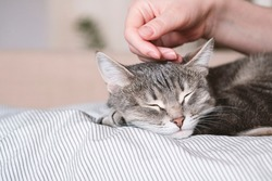The gray striped cat lies in bed on the bed with woman's hand on a gray background. The hostess gently strokes her cat on the fur. The relationship between a cat and a person. Selective focus