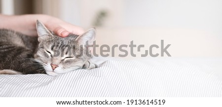The gray striped cat lies in bed on the bed with woman's hand on a gray background. The hostess gently strokes her cat on the fur. The relationship between a cat and a person. Selective focus. Banner