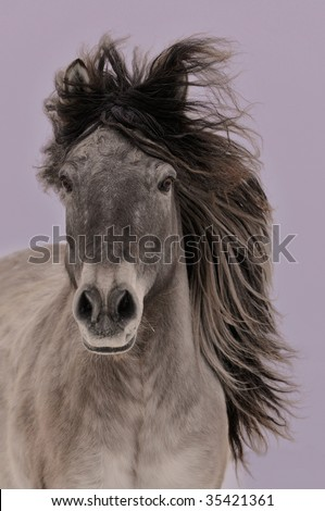 The gray Yakut horse run on violet background