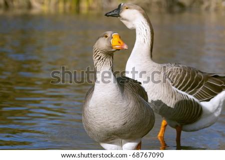 The Graylag geese swimming in a pond (Anser anser)
