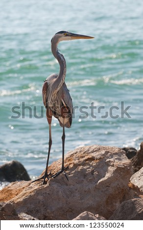 The Great Blue Heron (Ardea herodias), a large wading bird common near the shores of open water and in wetlands. This Heron photographed in Southwest Florida at Nokomis Beach on the Gulf of Mexico.