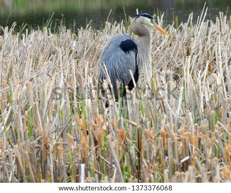 The great blue heron (Ardea herodias) is a large wading bird in the heron family Ardeidae, common near the shores of open water and in wetlands over most of North America and Central America,