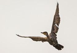 The Great Cormorant Flying On Sky. Cormorant Bird Stock Images.