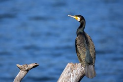The great cormorant, known as the great black cormorant across the Northern Hemisphere