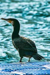 The great cormorant (Phalacrocorax carbo),Beautiful wild bird