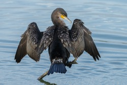 The great cormorant (Phalacrocorax carbo) drying his feathers.