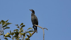 The great cormorant (Phalacrocorax carbo), known as the black shag in New Zealand and formerly also known as the great black cormorant across the Northern Hemisphere, the black cormorant in Australia.