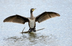 The great cormorant (Phalacrocorax carbo), known as the great black cormorant across the Northern Hemisphere.