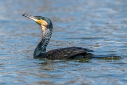 The great cormorant, Phalacrocorax carbo known as the great black cormorant across the Northern Hemisphere, the black cormorant in Australia and the black shag further south in New Zealand