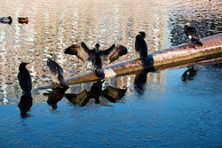 The great cormorant, Phalacrocorax carbo known as the great black cormorant. Several cormorants drying wings after diving into Spree river in Berlin, Germany with reflection.