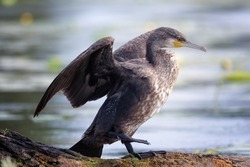 The great cormorant (Phalacrocorax carbo), known as the great black cormorant, the black cormorant, the large cormorant or the black shag