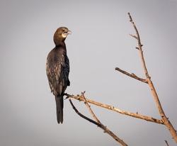 The Great Cormorant Relaxing On Tree. Cormorant Bird Stock Images.