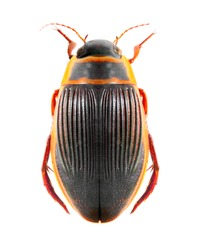 The great diving beetle (Dytiscus marginalis) isolated on a white background.